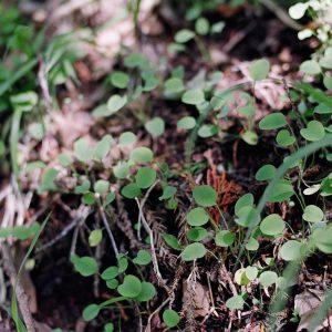 Leaf / Circleのモチーフとなった植物、ジシバリです。